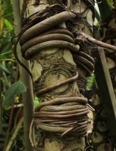 Plant Evolution: Vines