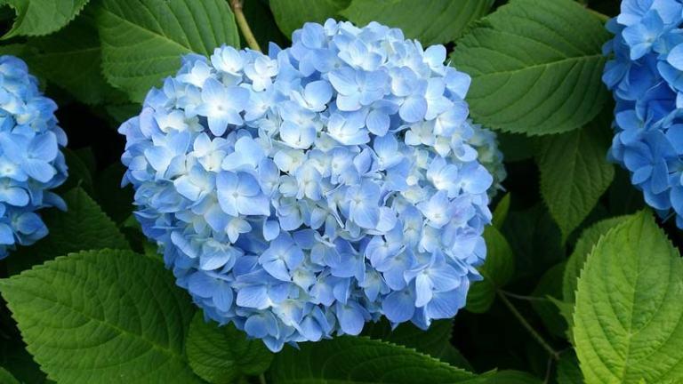 Japanese Plants: Hydrangea