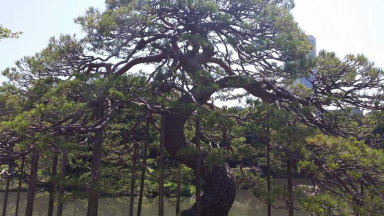 Japanese Plants: Pine