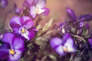 Pansies: Gender and Gardening