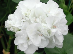 Pelargonium: Double Zonal 'Carol Gibbons'