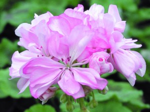 Pelargonium: Double Zonal 'Lilac Time'