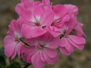 Pelargonium: Miniature Zonal 'Miss Muffet'