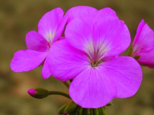 Pelargonium: Single Zonal 'Onalee'