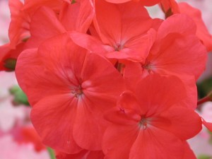 Pelargonium: Single Zonal 'Phyllis'