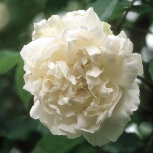 Nudity-friendly plants for World Naked Gardening Day: Mme. Alfred Carriere climbing rose