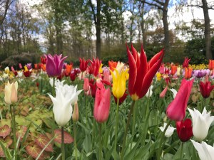 Tulip bulbs - Tulip time comes early