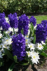 The Hyacinth comeback: unique varieties you'll love