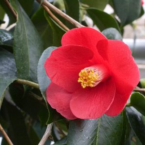 Plants for Shady Areas: Camellia japonica