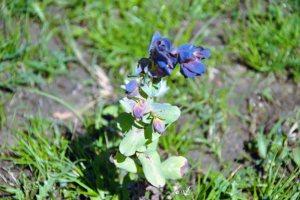 Plants for Dry Areas: Cerinthe major 'Purpurascens'