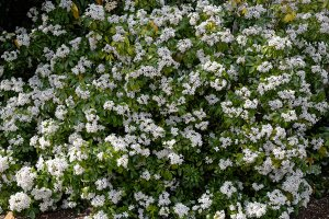 Plants for a Family Garden: Mexican orange blossom