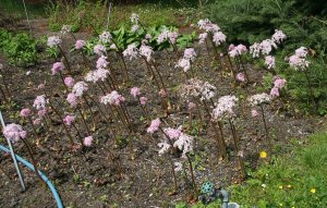 Plants for Damp Areas: Darmera peltata