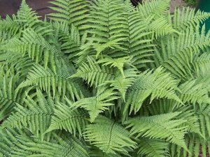 Plants for Shady Areas: Dryopteris filix-mas