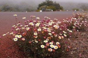 Plants for Dry Areas: Erigeron karvinskianus