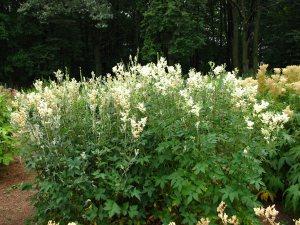 Plants for Damp Areas: Fillipendula ulmaria