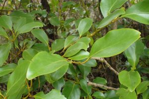 Wind-proof Plants: Griselinia littoralis