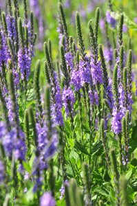 Plants for a Family Garden: Vervain