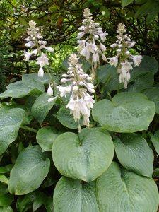 Plants for Damp Areas: Hosta-seiboldiana