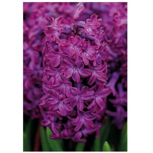 Helping Bees in Winter: Hyacinth