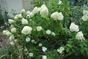 Plants for Damp Areas: Hydrangea paniculata 'Limelight'