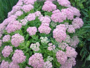 Plants for a Family Garden: Hylotelephium spectabile