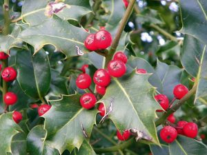 Wind-proof Plants: Ilex aquifolium