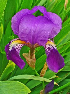 Plants for Dry Areas: Iris germanica