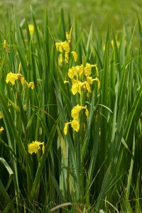 Plants for Damp Areas: Iris pseudacorus