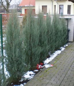 Plants for Dry Areas: Juniperus Scopulorum 'Skyrocket'