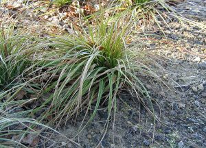 Plants for Shady Areas: Luzula nivea