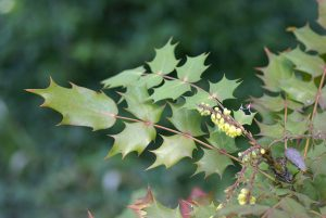 Wind-proof Plants: Mahonia Japonica
