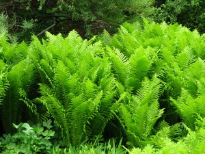 Plants for Damp Areas: Matteuccia struthiopteris