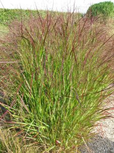 Wind-proof Plants: Panicum virgatum