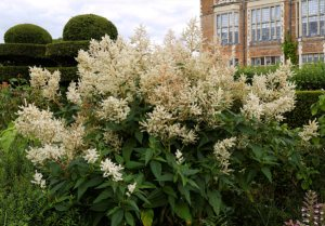Plants for Damp Areas: Persicaria polymorpha