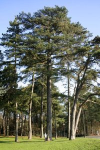 Wind-proof Plants: Pinus nigra
