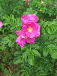 Wind-proof Plants: Rosa rugosa