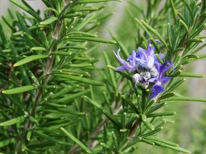 Plants for a Family Garden: Rosemary