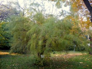 Wind-proof Plants: Tamarisk tetrandra