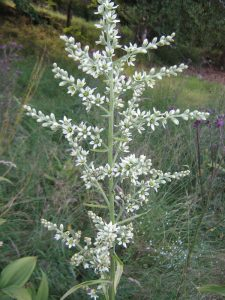 Plants for Shady Areas: Veratrum album