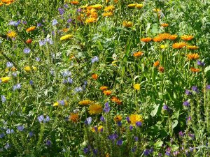 Plants for a Family Garden: Meadow mix