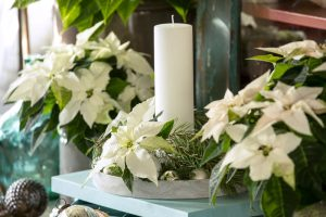 Could a white Poinsettia be the must-have plant this Christmas?