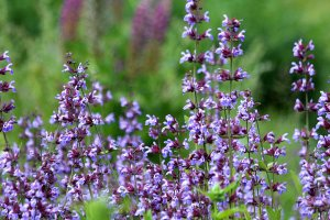 Plants for a Family Garden: Purple Sage