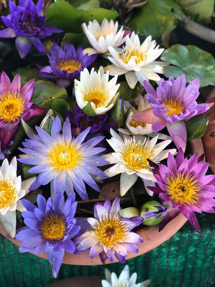 Bangkok plant market: Water lilies