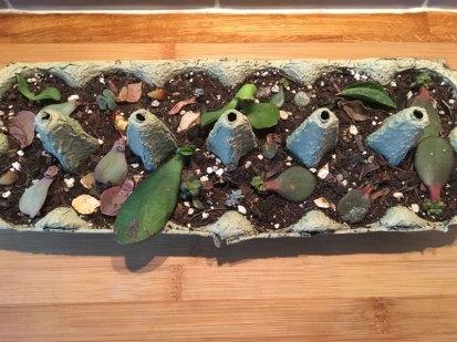 Jade plant propagation