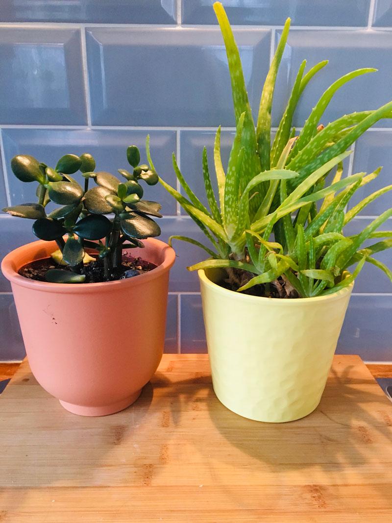 Jade plant and Aloe vera