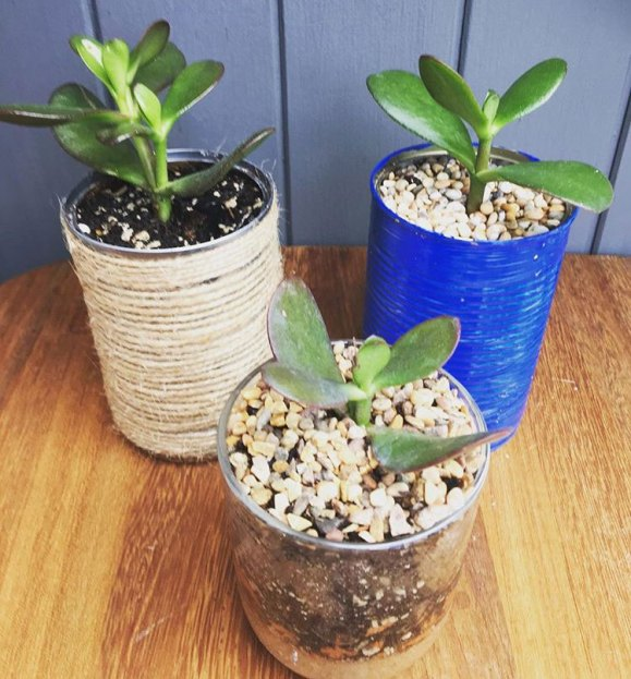 Jade plants in cans