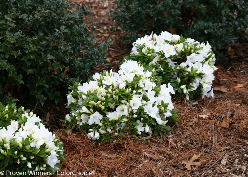 Azalea Bloom Champion white
