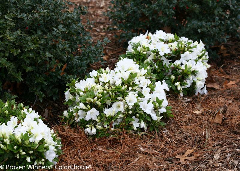 Azalea Bloom Champion white