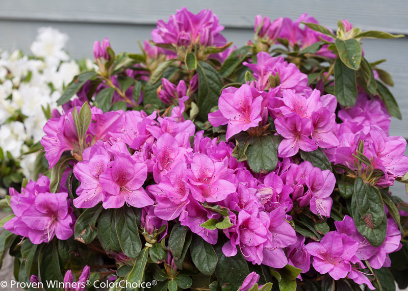 Azalea Bloom Champion lavender