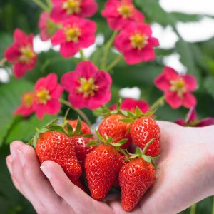 How to grow strawberries: Toscana Strawberry Plant